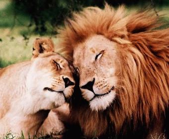 Lauvas